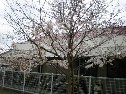 ✿桜前線通過中✿